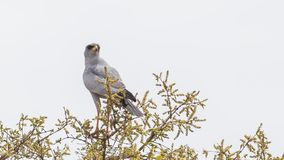 Eastern Chanting-Goshawk on Top of Tree. Eastern Chanting-Goshawk, Melierax poliopterus, perches on top of tree looking right in Liben Plain, Ethiopia, Africa stock photo