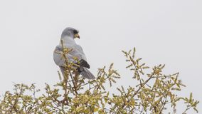 Eastern Chanting-Goshawk on Tree. Eastern Chanting-Goshawk, Melierax poliopterus, perches on top of tree looking right in Liben Plain, Ethiopia, Africa royalty free stock image