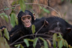 Eastern chimpanzee infant. Young infant chimp riding on back of mother in dense forest Royalty Free Stock Photo
