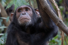Eastern chimpanzee. Pan troglodytes schweinfurthii, young male resting in forest Stock Photo