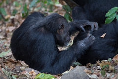 Eastern chimpanzees grooming. Eastern chimpanzee, Pan troglodytes schweinfurthii, during a grooming session Royalty Free Stock Photography