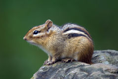 Eastern Chipmunk. Closeup picture of an Eastern Chipmunk on a rock Stock Photography