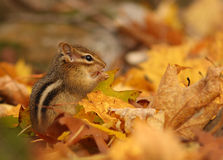 The Eastern Chipmunk Stock Photography