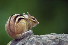Eastern Chipmunk. Closeup picture of an Eastern Chipmunk on a rock Royalty Free Stock Image