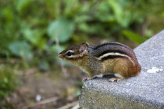 Eastern Chipmunk. Adorable little chipmunk sitting on a piece of concrete (in this case this is a driveway). Eastern Chipmunk of North America Royalty Free Stock Photo