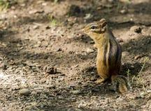 Eastern chipmunk. Eastern chipmunk on alert in woods royalty free stock images