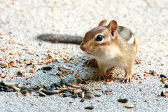 Eastern chipmunk bulging cheeks Royalty Free Stock Photos
