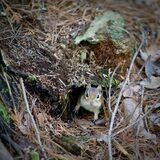 Eastern Chipmunk in a Burrow