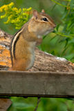 Eastern Chipmunk Royalty Free Stock Photography
