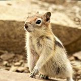 Eastern Chipmunk - East Glacier National Park, USA stock photography
