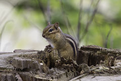 Eastern Chipmunk. Emerging from a hollow log Royalty Free Stock Images