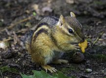 Eastern chipmunk enjoying a snack on a summer day. An eastern chipmunk taking time from his busy day to enjoy a snack stock photography