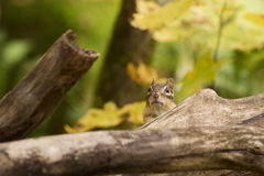 Eastern Chipmunk in fall Royalty Free Stock Image