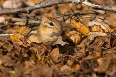 Eastern Chipmunk. Foraging in the leaf litter on the forest floor. Algonquin Provincial Park, Ontario, Canada Royalty Free Stock Photo