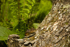 Eastern Chipmunk with Full Cheeks in Forest. A striped red-brown tiny rodent, the eastern chipmunk seen here in a deciduous forest with ferns and fallen log has Stock Images