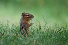 Eastern Chipmunk. In the grass stock photos