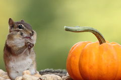 Eastern Chipmunk with hands pointing to each other standing next to a pumpkin Royalty Free Stock Photo