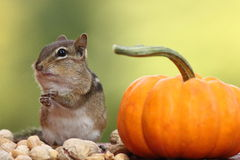 Eastern Chipmunk with hands on top of each other standing next to a pumpkin Royalty Free Stock Photography