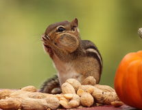 Eastern Chipmunk with hands up to face standing next to a pumpkin royalty free stock photo