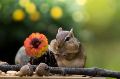 Eastern Chipmunk has cheeks to max in Autumn season Royalty Free Stock Photos