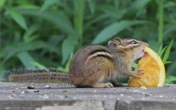 Eastern chipmunk licking orange Royalty Free Stock Photo