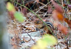 Eastern Chipmunk Lined Ground Squirrel Royalty Free Stock Image