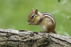 Eastern Chipmunk on a Log. Eastern Chipmunk (Tamias striatus) Perched on its Hind Legs on a Log Royalty Free Stock Photos