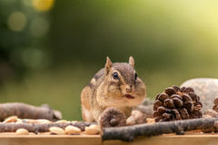 Eastern Chipmunk looks forward with cheeks full Royalty Free Stock Photo