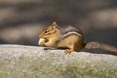 Eastern chipmunk with a nut. Royalty Free Stock Photos