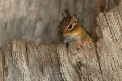 Eastern Chipmunk. Peaking out from inside a hollow stump. LaSalle Park, Burlington, Ontario, Canada Royalty Free Stock Photos