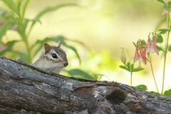 Eastern Chipmunk Peering Over a Log in Spring Stock Photography