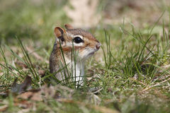 Eastern Chipmunk poking its head out of a hole Stock Photos