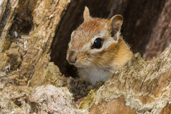 Eastern Chipmunk Royalty Free Stock Photos