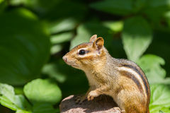 Eastern Chipmunk Stock Photo