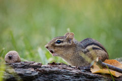 Eastern Chipmunk scares off others in a woodland autumn scene Royalty Free Stock Photos