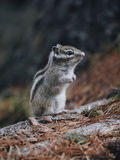 Eastern Chipmunk , sitting on a fallen tree Stock Images