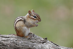 Eastern Chipmunk Sitting on a Log. Eastern Chipmunk (Tamias striatus) appears to be praying as it sits on a fallen log - Ontario, Canada Royalty Free Stock Image