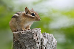Eastern Chipmunk Sitting on a Tree Stump Royalty Free Stock Images