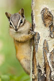Eastern Chipmunk Squirrel (Tamias Striatus) Clinging To A Tree Stock Images
