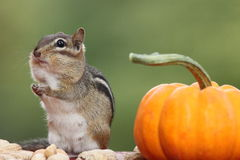 Eastern chipmunk standing next pumpkin contemplating with hands together Stock Photography