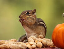 Eastern chipmunk standing next pumpkin licking hands Stock Photography