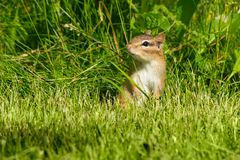 Eastern Chipmunk - Tamias striatus. Eastern Chipmunk standing up in the grass looking out for danger. High Park, Toronto, Ontario, Canada Stock Photography
