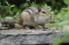 Eastern Chipmunk on a Step Royalty Free Stock Photo