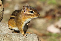 Eastern Chipmunk Strikes a Pose Stock Photography