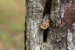 Eastern Chipmunk (Tamias) peeks out from his hiding hole in a tree. Eastern Chipmunk (Tamias), smallest member of the squirrel family comes comes out of hiding stock photography