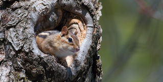 Eastern Chipmunk (Tamias) peeks out from his hiding hole in a tree. Eastern Chipmunk (Tamias), smallest member of the squirrel family comes comes out of hiding stock images