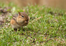 Eastern Chipmunk, Tamias striatus Stock Image