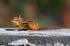Eastern Chipmunk (Tamias striatus) Royalty Free Stock Image
