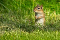 Eastern Chipmunk - Tamias striatus. Eastern Chipmunk standing up in the grass looking out for danger. High Park, Toronto, Ontario, Canada Stock Image