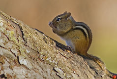 Eastern Chipmunk. (Tamias striatus)  with fall colors in the background Stock Photo